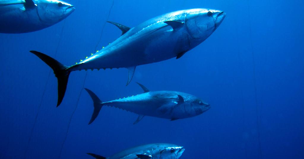 Swim with Tuna in the Mediterranean
