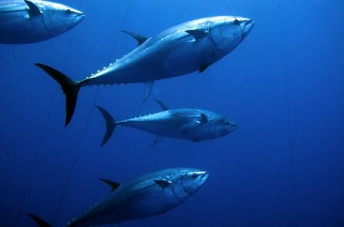 Nedant entre tonyines en el Mediterrani